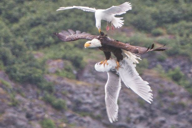 Bald-eagle-two-seagulls